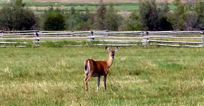 Deer in one of Grant-Kohrs Ranch pastures.