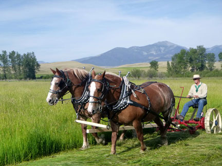 Belgian draft horses pulling a sickle mower to cut hay