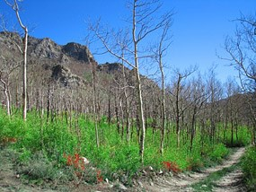 Medano Burned Trees and New Growth