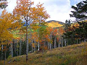 Aspens on Medano Pass