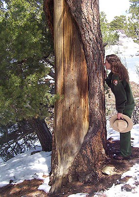 Culturally Peeled Ponderosa Pine and Ranger