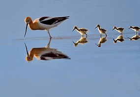 Avocet mother leading four chicks through shallow water