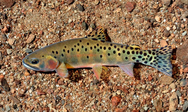Rio Grande Cutthroat Trout in Water