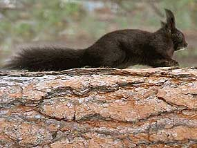 Abert's Squirrel, Black Phase