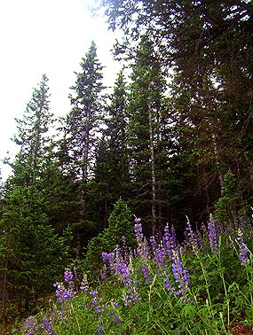 Subalpine Trees and Blue Penstemon