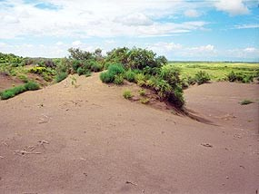 Coppice or Nebkha dune