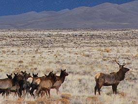 Elk herd in grasslands around dunefield