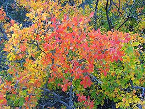 Three-leaf sumac