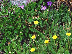 Fairy Primrose and Alpine Avens