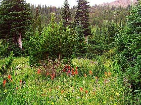 Subalpine Meadow with Wildflowers