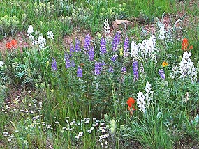 Penstemon, Lousewort, and Paintbrush