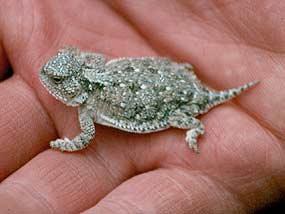 U S Lizard Dwarfed Short-Horned Lizard