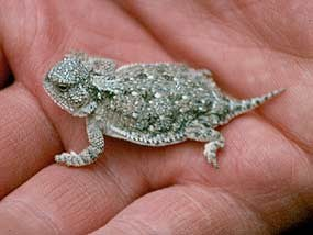 Dwarfed Short-Horned Lizard