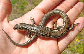 Many-Lined Skink 2007