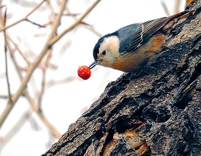 White Breasted Nuthatch with Rose Hip Berry on Tree Trunk