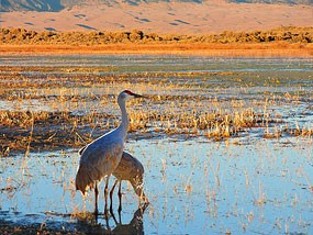 Pair of Sandhill Cranes in San Luis Lakes with Dunes in Background