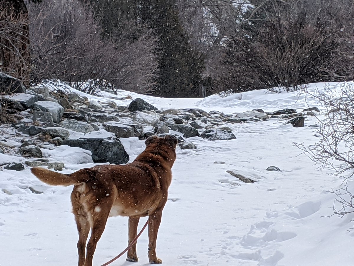 Tyler, a mixed breed, explore a trail into the Sangre de Cristo Mountains in late winter of 2021.