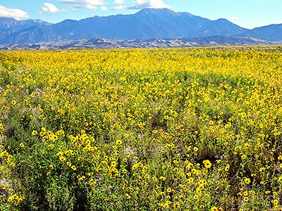 Thousands of prairie sunflowers, dunes, and Mount Herard