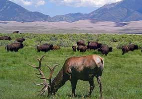 Elk and Bison in Grasslands