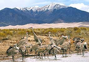 Sandhill Cranes, Dunes, and Mt. Herard