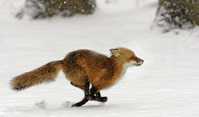 a red fox running through the snow