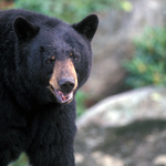 Approximately 1,500 black bears live in Great Smoky Mountains National Park.