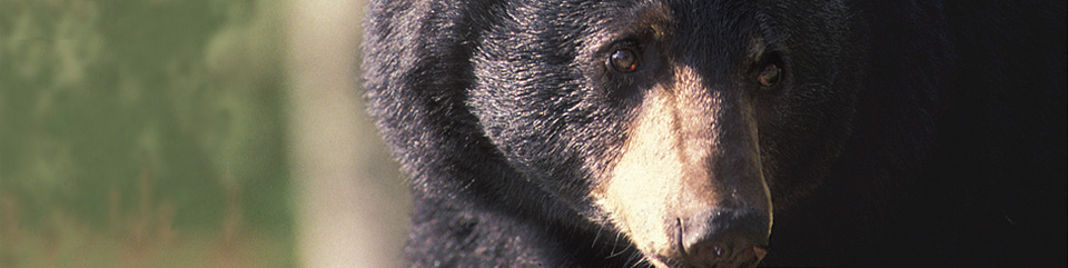 Approximately 1,500 black bears live in the national park.