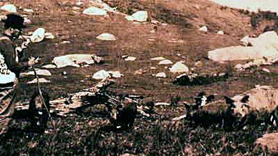 Historic photo of hogs feeding in a mountain field while a farmer watches them