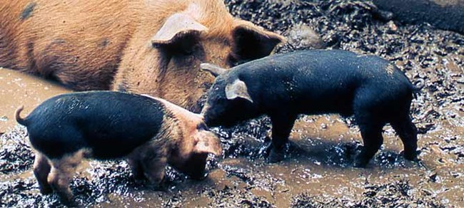 A mother pig watches her two piglets