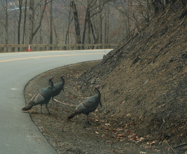 Turkeys moving back to burned areas