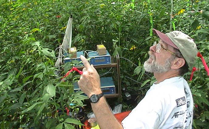 A scientist with monitoring equipment surrounded by a thick patch yellow coneflower foliage.