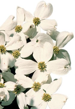 Dogwood trees can be found in the park's biologically diverse cove-hardwood forests.