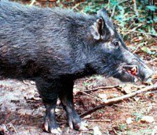 Non-native hogs cause extensive damage to the park's ecosystems.