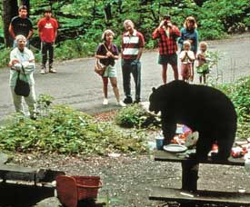 A black bear feeds on an unattended picnic.
