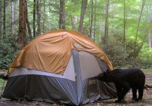 Managers set up a tent to monitor a nuisance bear.