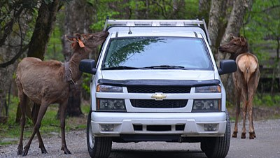 Elk standing beside pickup truck
