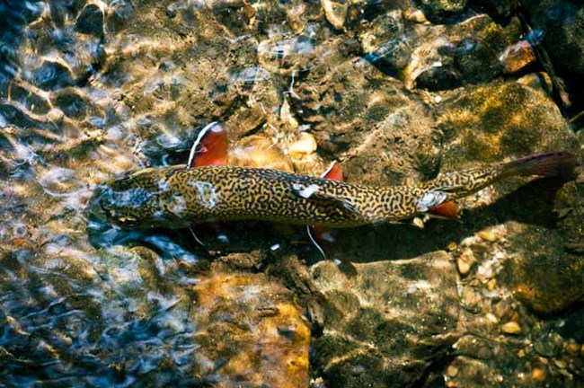 Southern Appalachian Brook Trout in a shallow pool in GSMNP.
