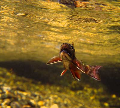 An underwater view of a brook trout