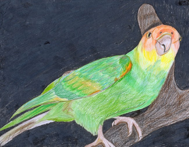 Carolina Parakeet by Kyle W, Robbinsville High School.