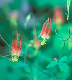Columbine- Wildflower