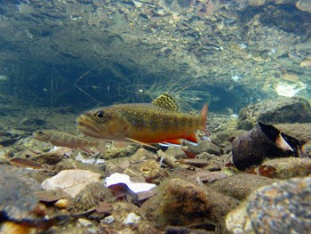 Underwater view of a brook trout
