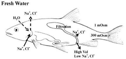 A diagram showing osmoregulation in freshwater and seawater adapted fish.