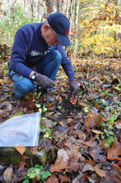Volunteer replanting ginseng.
