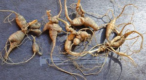 Confiscated ginseng roots that were poached.