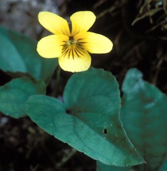 Halberd-Leaved Violet Wildflower