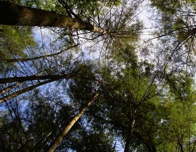 Hemlock canopy in a Conservation Area treated to protect against the Hemlock Woolly Adelgid (HWA).