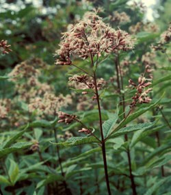 Joe-Pye-Weed Wildflower