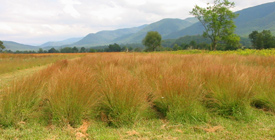 Rows of planted Little Bluestem in Cades Cove.