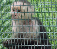 A capuchin monkey captured in the park.