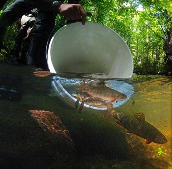 Brook trout being released into the river from a bucket